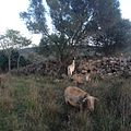 Pastura de cabres i ovelles00.JPG