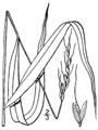 Patis racemosa (as Oryzopsis racemosa) BB-1913.png