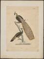 Pavo muticus - 1820-1860 - Print - Iconographia Zoologica - Special Collections University of Amsterdam - UBA01 IZ16900219.tif