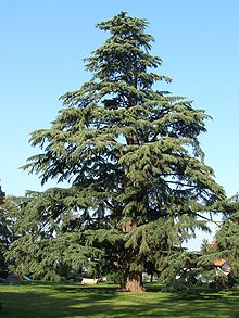 árbol Wiktionary