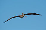 Pelican 4944.jpg
