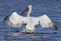 Pelican kurladi 3.jpg