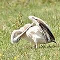 Pelican performs contortions (44526523142).jpg