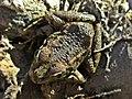 Pelophylax perezi (Ranidae) (Perez' Water Frog), Río Guadaiza, Spain.jpg