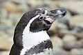 Penguin - Woburn Safari Park (4582215170).jpg