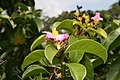 Pereskia grandifolia 38zz.jpg