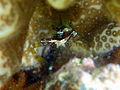 Periclimenella spinifera sur corail mou.JPG