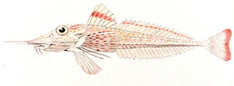 Armored searobin - Illustration of Slender searobin, Peristedion gracile