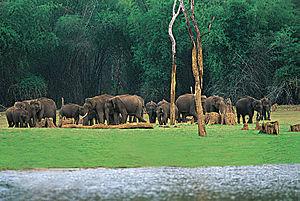 Thekkady - Elephants in Thekkady