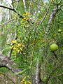 Persoonia pinifolia 1.jpg