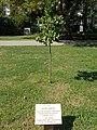 Petőfi memorial tree by Luby society (2014), 2017 Fehérgyarmat.jpg