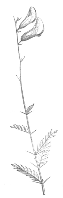 Peteria scoparia Taub116b.png