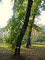 Phellodendron amurense (14).JPG