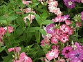 Phlox from Lalbagh flower show Aug 2013 8413.JPG