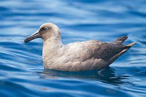 Sooty albatross - Immature