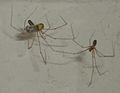 Pholcus phalangioides eating wasp 1.jpg