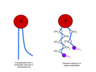 Phospholipid -  The left image shows a phospholipid, and the right image shows the chemical makeup.