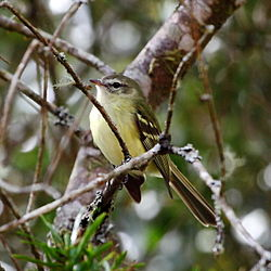 Phyllomyias virescens - Greenish Tyrannulet.JPG