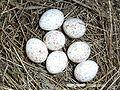 Phylloscopus trochilus eggs.JPG