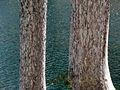 Picea breweriana bark Trinity Alps.jpg