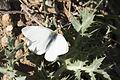 Pieris rapae - Küçük beyazmelek 01.jpg