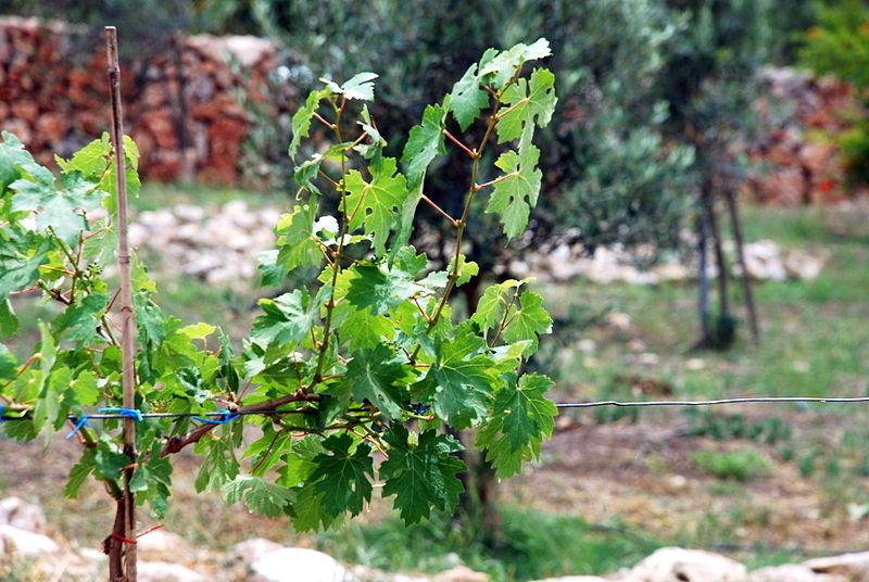 Kerem Maharal Grape Vine