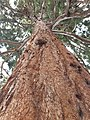 Pinales - Sequoiadendron giganteum - 6.jpg