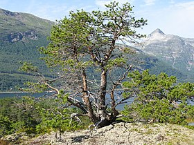Pine-on-the-rock-.jpg