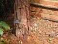 Pinus Canariensis trunk.TIF