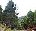 Pinus halepensis Amizmiz 1.jpg