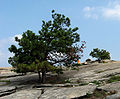 Pinus rigida Stone Mountain.jpg