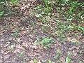 Plant litter (sciolka lesna).jpg