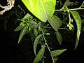 Plants at Bijalinagar 96.jpg