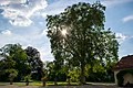 Platane Schloßpark Edingen-Neckarhausen.jpg