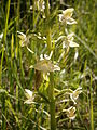 Platanthera chlorantha 004.JPG