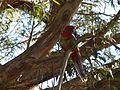 Platycercus elegans -juvenile in tree.jpg