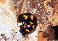 Pleasing fungus beetles (Erotylidae)- eating fungi while beeing in copula (5135697206).jpg