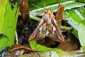 Plusia festucae (Noctuidae) (Gold Spot), Reeuwijk, the Netherlands.jpg