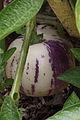 Poire melon, jardins du muséum de Toulouse 03.JPG