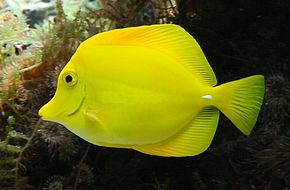Poissonchirurgienjaune (cropped).jpg