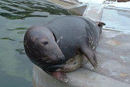 Zeehonden Wikipedia