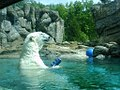 Polar bear Environmental enrichment.jpg