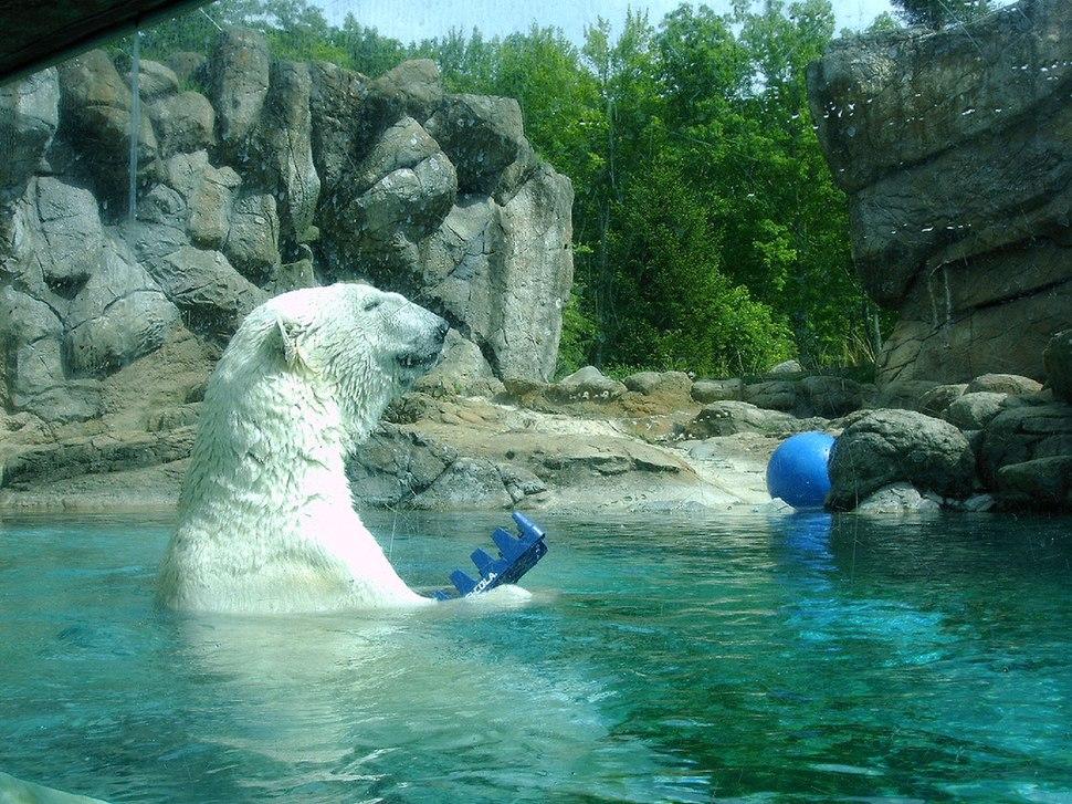 Polar bear Environmental enrichment