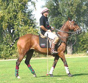 Polo pony - A polo pony