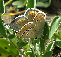 Polyommatus dorylas.jpg