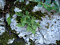Polypodium vulgare Ligerz.jpg