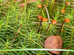 Polytrichum commune - Plants of Polytrichum commune