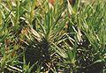 Polytrichum juniperinum gametophyte.jpg