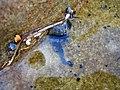 Portuguese Man o' War - Flickr - GregTheBusker.jpg