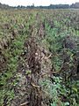 Potato field heavily infected by P. infestans.JPG